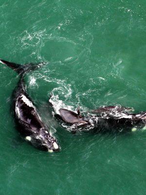 baleias-franca_ja_marcam_presenca_no_litoral_de_sc_e_sao_monitoradas_por_programa_do_porto_de_imbituba_20180620_1042516791